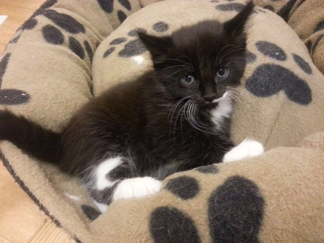 Kittens For Sale London South West London Pets4homes White Kittens For Sale Black White Kittens Kitten For Sale