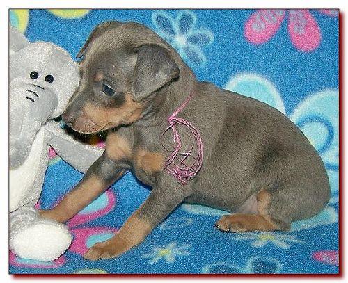Toy King Blue Female Miniature Pinscher Puppy Breeder 1 Miniature Pinscher Puppy Doberman Pinscher Funny Doberman Pinscher