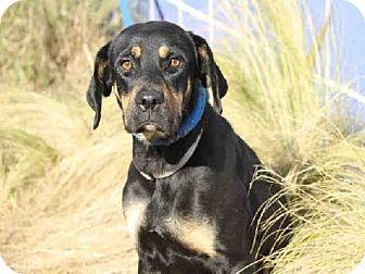Austin Tx Rottweiler Mix Meet Dixie A Dog For Adoption Http