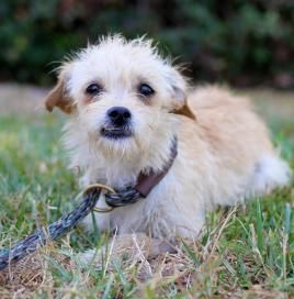 Adopt Brenner On Puppies Dogs Cairn Terrier Pets