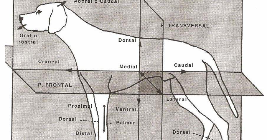 Resultado de imagen para planos de la anatomia animal   anatomia del ...