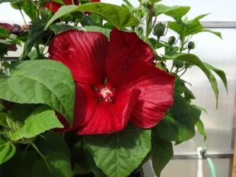 Honeymoon Deep Red Hibiscus Hibiscus Honeymoon F1 Romantic