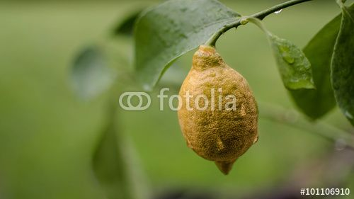 Natural Ecological Lemon On Outdoor Garden Branch In The Rain Stock Photo And Royalty Free Images On Fotolia Com Pic 101106910