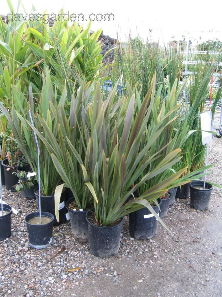 Plantfiles Picture 3 Of New Zealand Flax Sea Jade Phormium New Zealand Flax Plants New Zealand