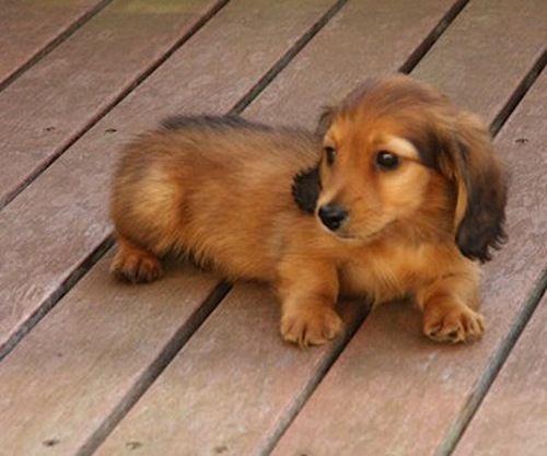 Sweet Baby Dachshund Puppies Baby Dachshund Wiener Dog
