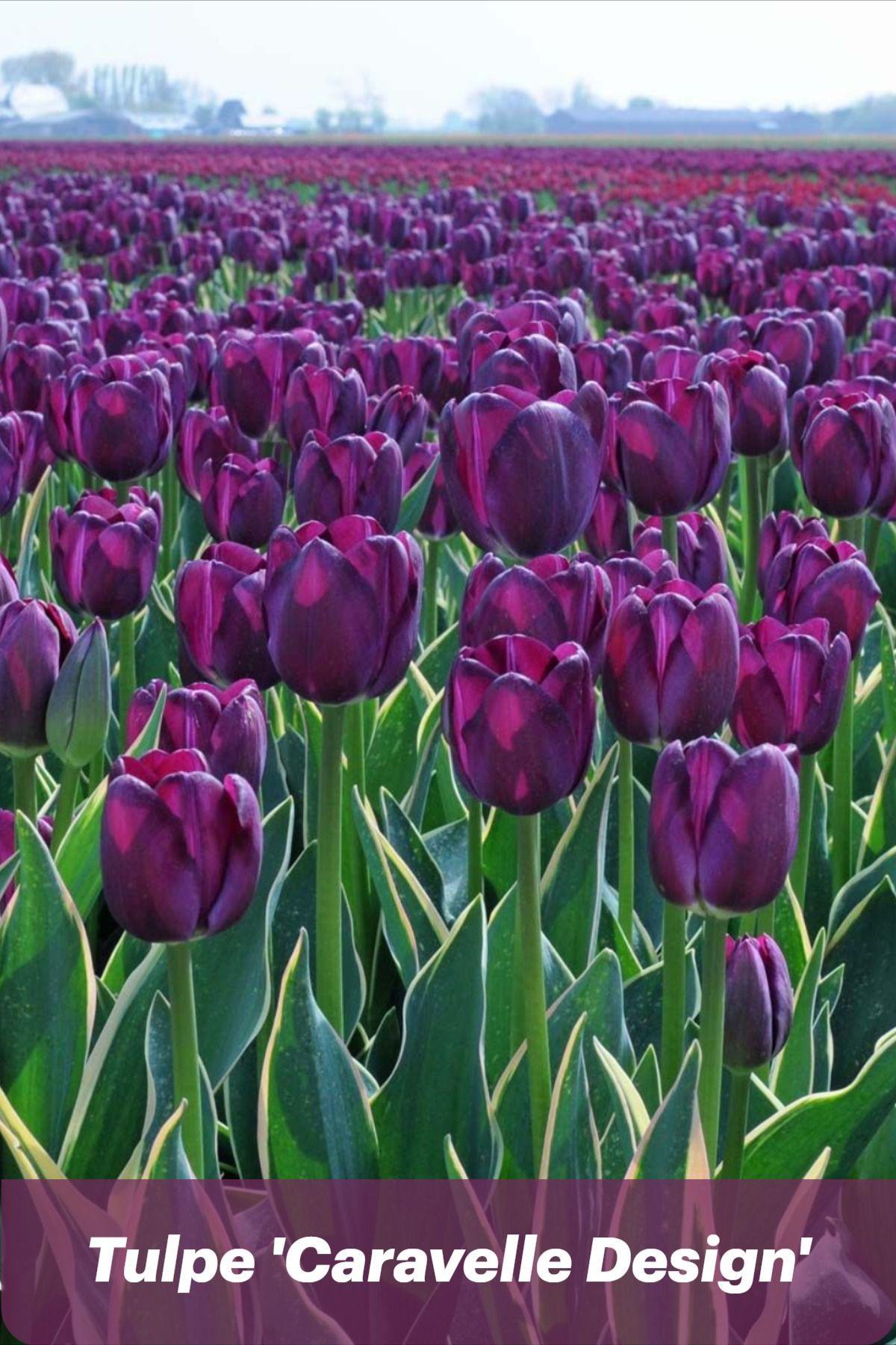 Tulpe Caravelle Design Lila Garten Tulpen Lila Bluten