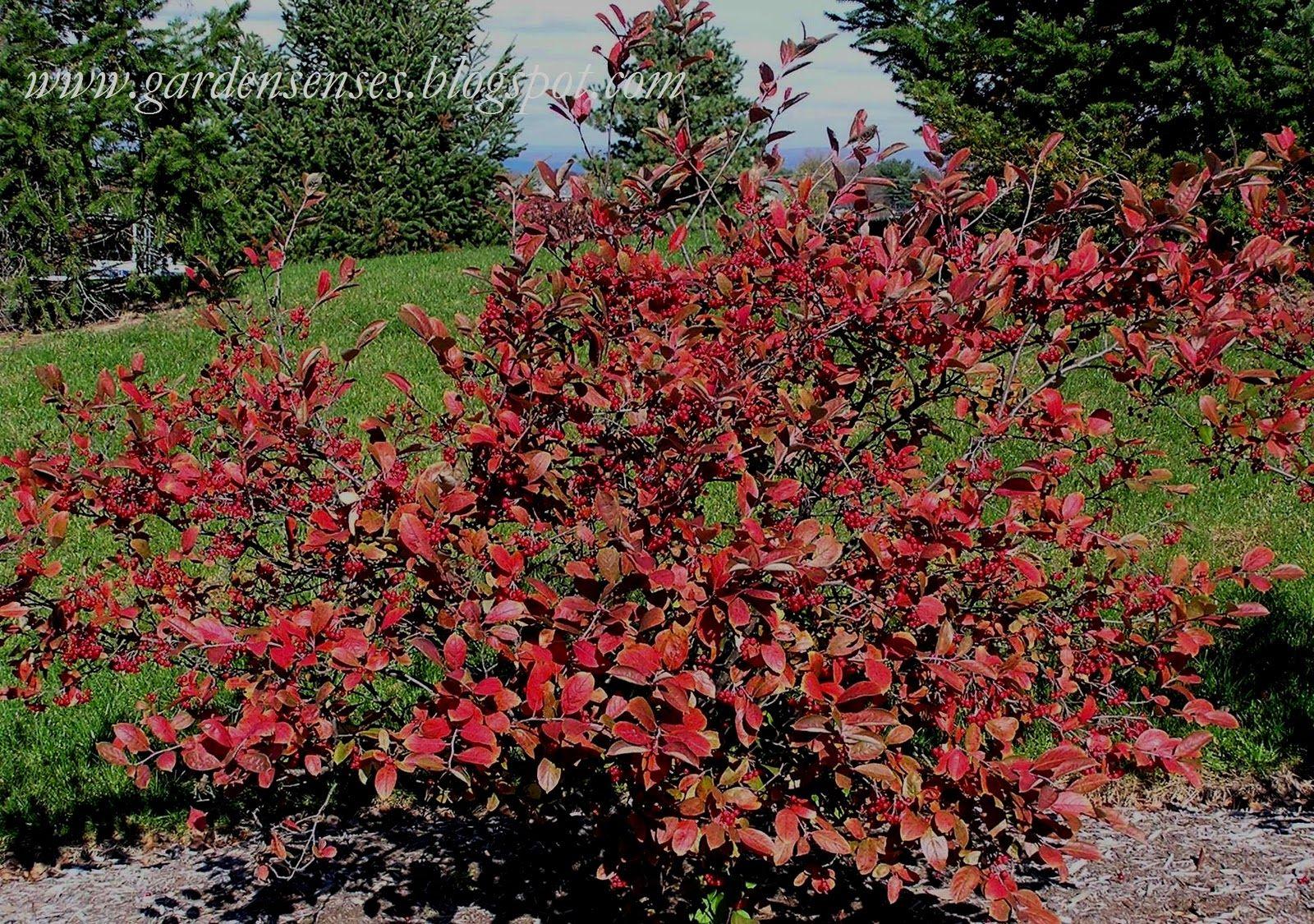 chokeberry ( autumn) | arbustres | Shrubs, Color, Garden