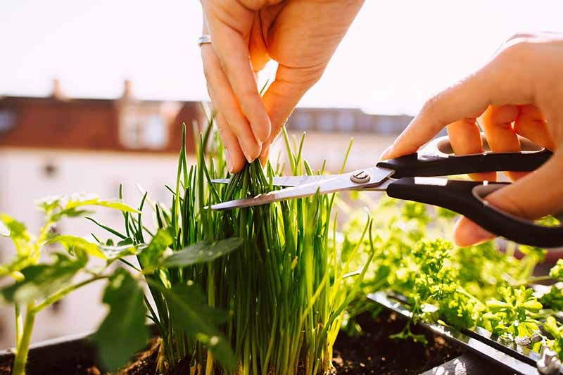 How To Grow Chives In Containers Gardener S Path Growing Chives Chives Plant Herb Containers