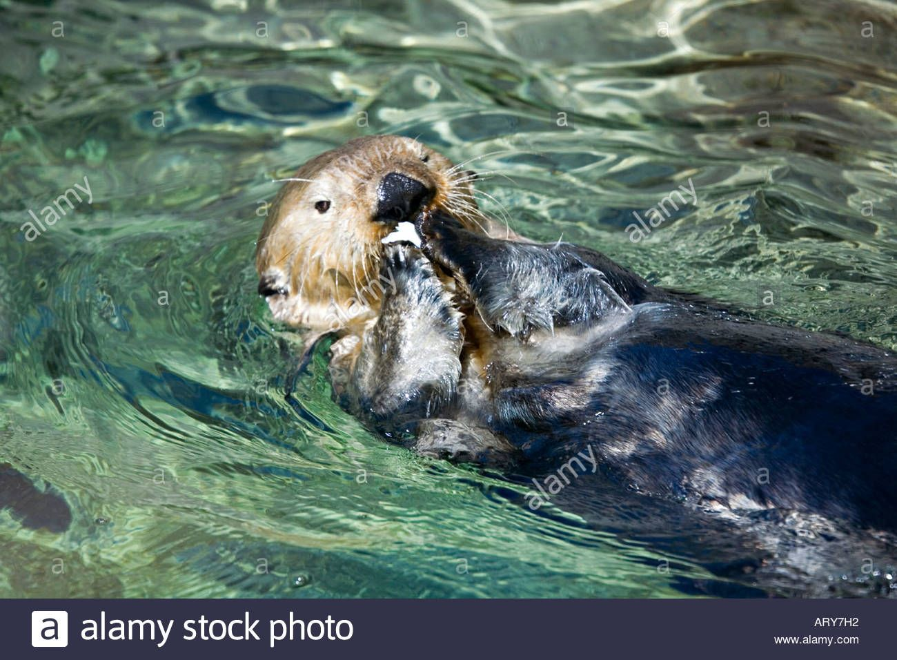 Sea Otter Enhydra Lutris Swimming On Back Eating Fish Pacific