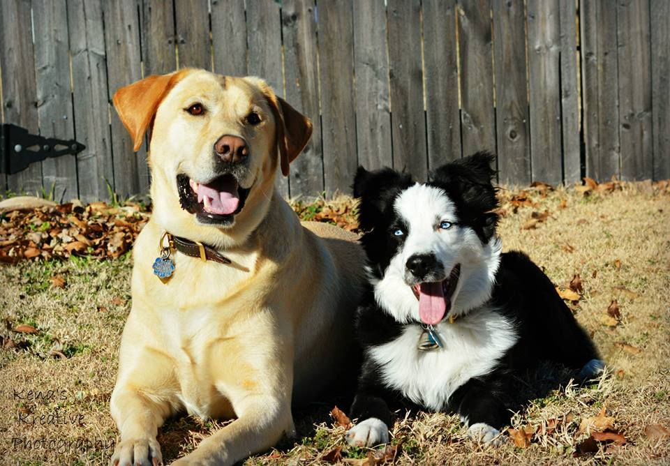 Casey and Roper, yellow lab and mini Aussie....3/5/14
