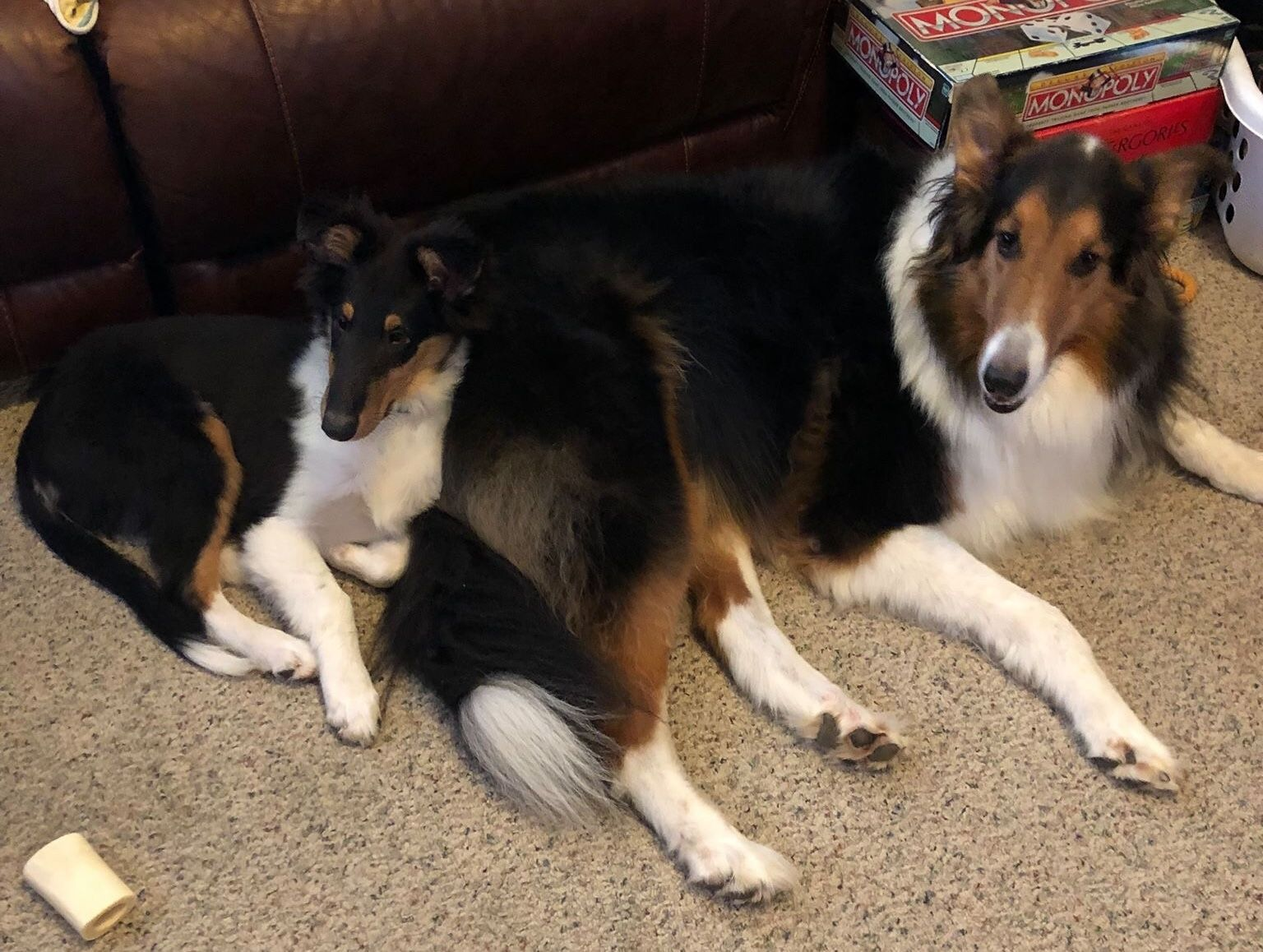 Sable Faced Tri Collie On The Right Collie Colorful Coat Tri