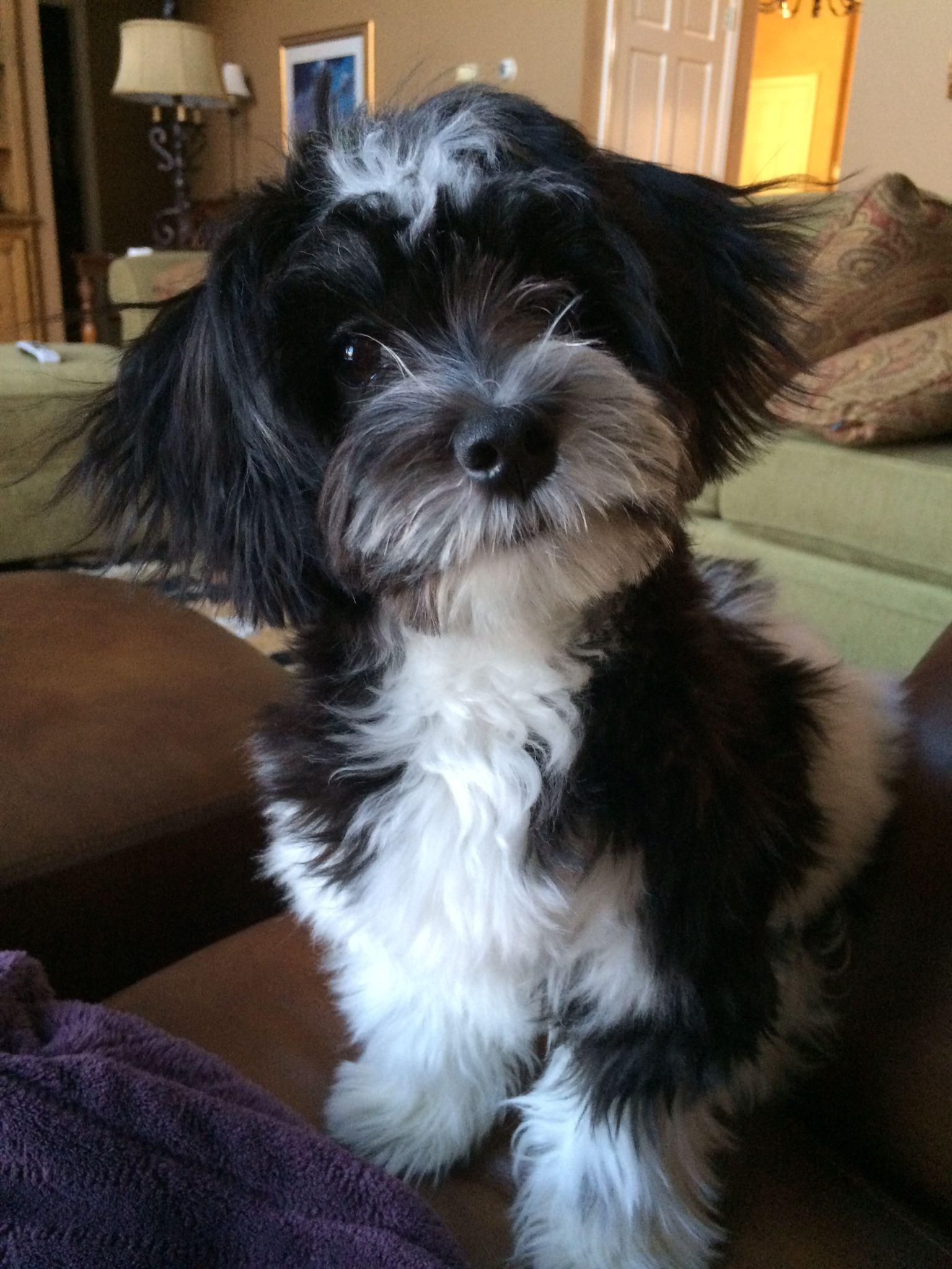 So cute! | Havanese dogs, Miniature dog breeds, Havanese