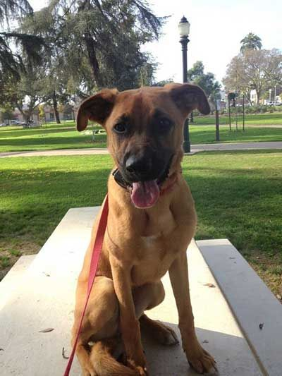 Boxer German Shepherd Mix Behaviorr Who Let The Dogs Out Boxer