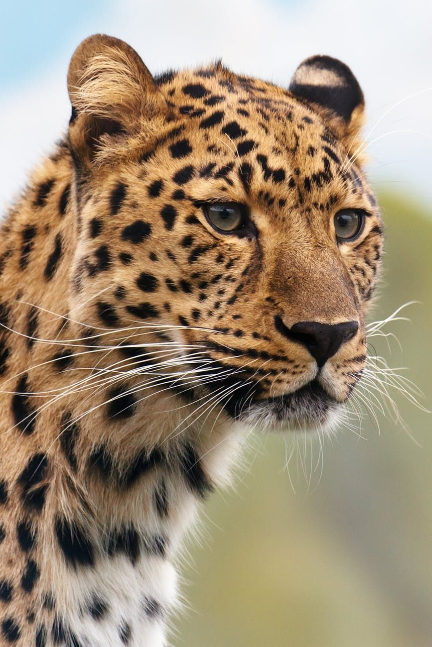 Pin Oleh Patricia Ferrera Di Leopard Kucing Besar Binatang Buas Fotografi Hewan
