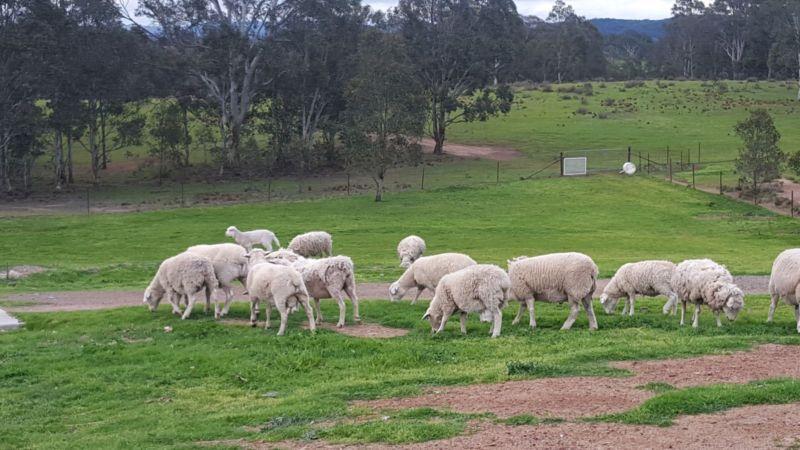 Dorper Ewes Livestock Gumtree Australia Goulburn City