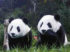 Panda Bear at Christmas - Bing Images