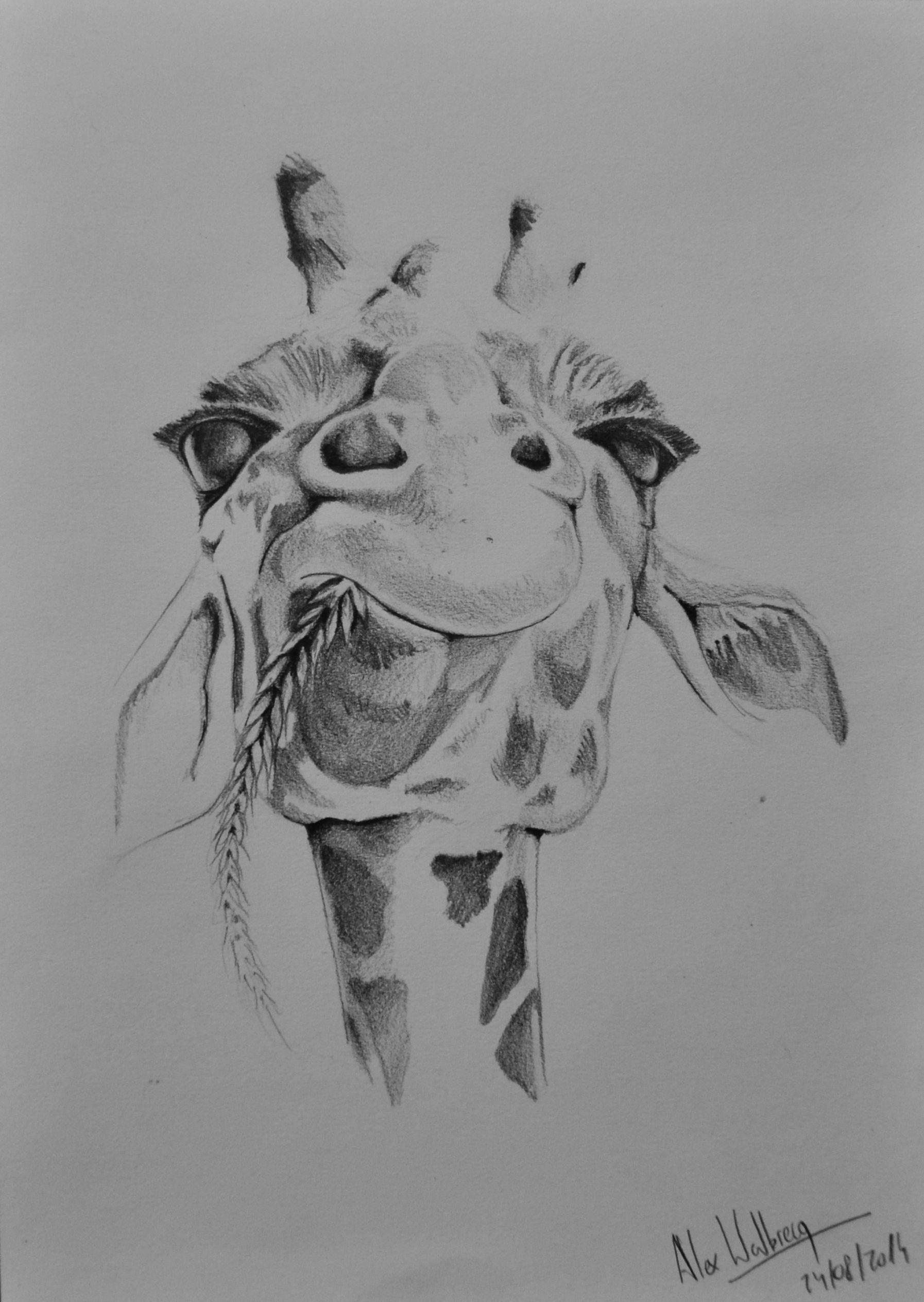 An Impassive Giraffe Pencil Drawing Dessin Au Crayon Dibujo A Lapiz Giraffe Drawing Giraffe Art Animal Drawings