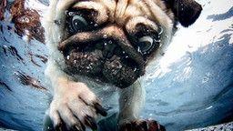 """Duncan, Mops,  """"Hunde unter Wasser"""" von Seth Casteel"""