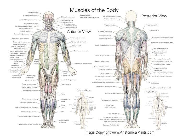 Muscle Anatomy Posters - Anterior, Posterior & Deep Layers ...