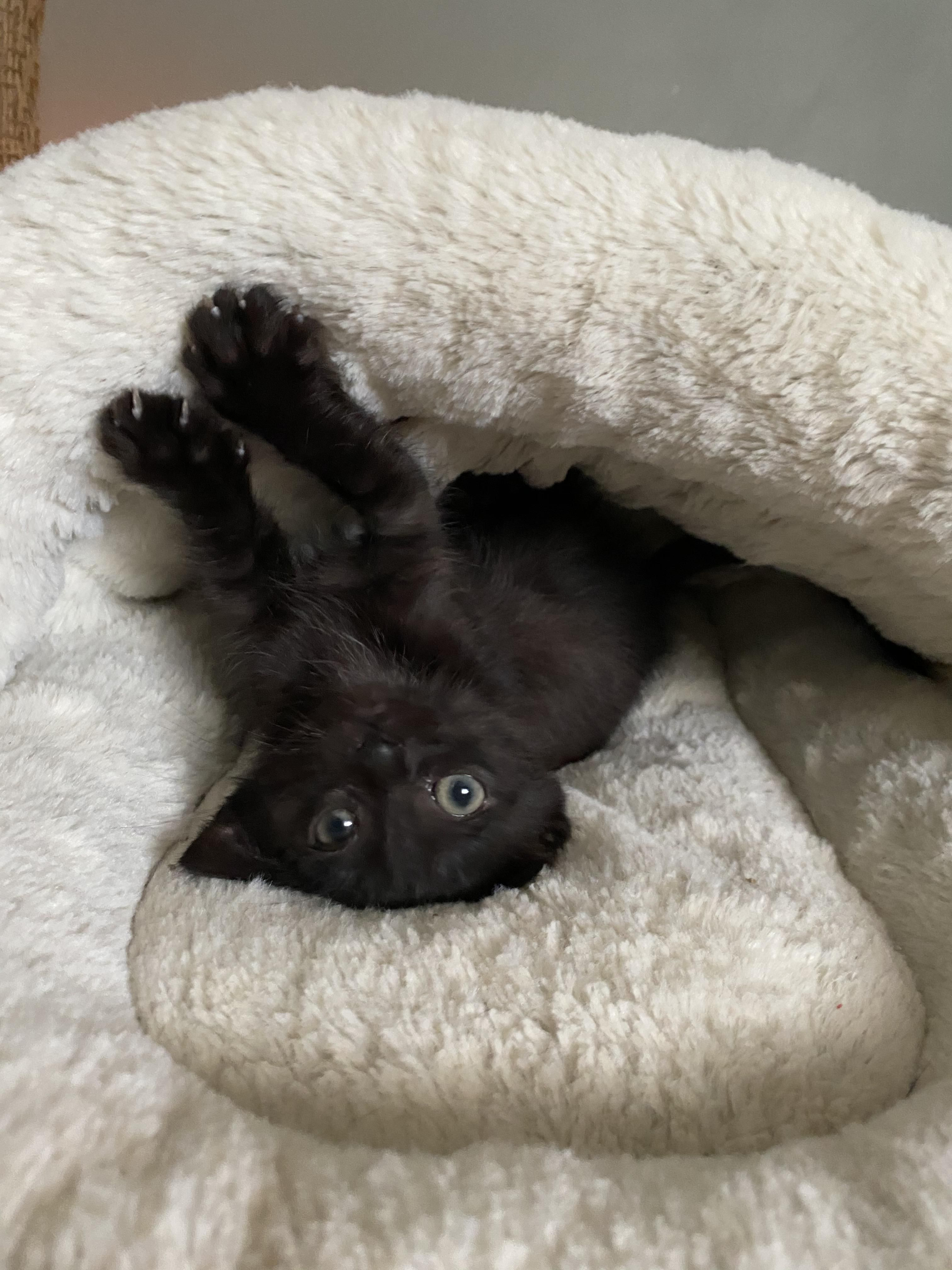 Just As I Was Preparing Tearfully To Give My Black Foster Kitten And Her Mama Back To The Shelter To Be Adopted Someone Brought Me Another Little Black Cat T In 2020