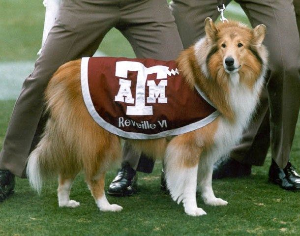 Reveiile The First Lady Of Aggieland And The Official Mascot Of Texas A M University She Is The Highest Ranking Memb Black And White Dog Mascot Pretty Dogs