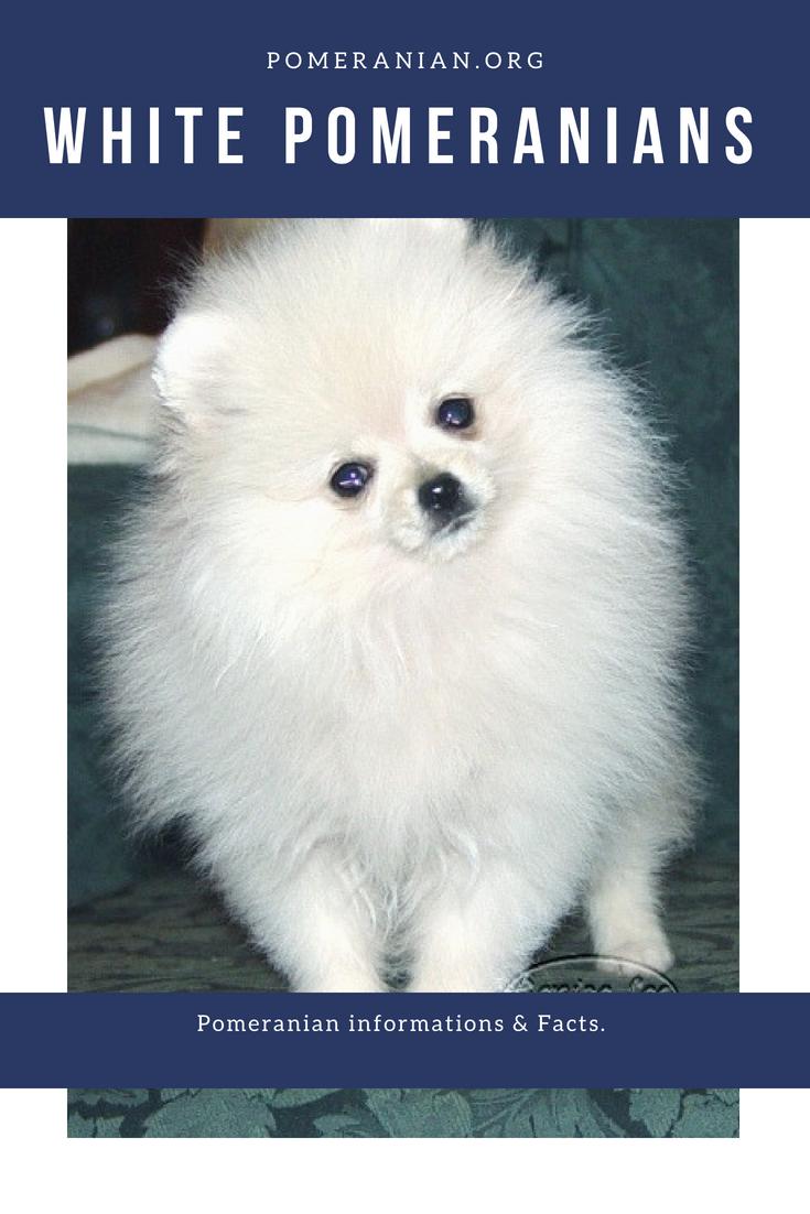 White Pomeranians Pomeranian Puppy Pomeranian Dog White Pomeranian