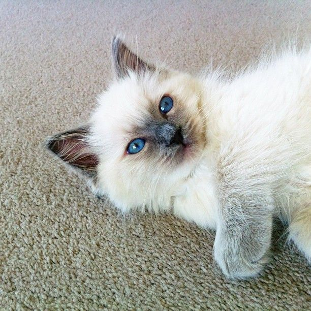 Blue Point Ragdoll Kitten Cute Cats And Kittens Cute Cats Pretty Cats