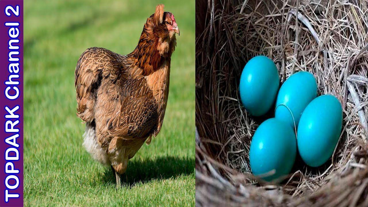 10 Razas De Gallinas Y Sus Increíbles Huevos De Colores Chicken Garden Backyard Birds Chickens