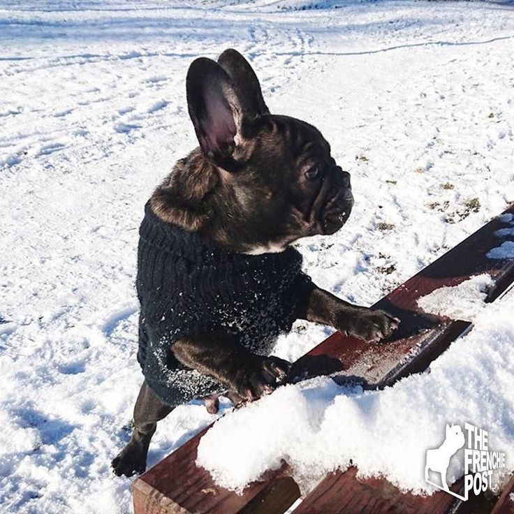 100% statifaction guarantee or your money back! (for any reason)  #snowdog #frenchbulldog #frenchie #frenchbulldogsnow
