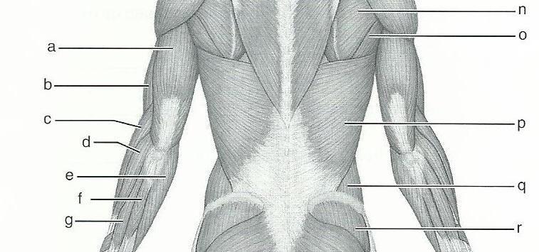 Card Image Edu Kids Pinterest Gross Anatomy Muscular System