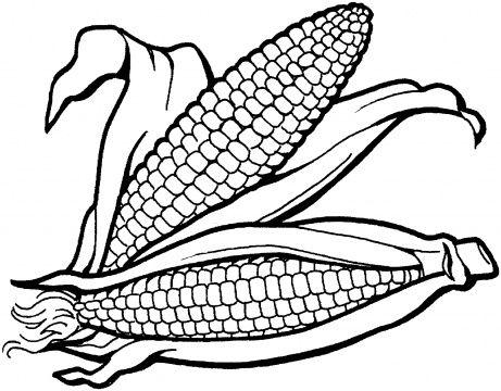 beautiful corns close look on a corn field a corn harvest