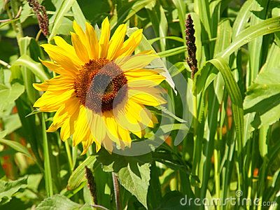 Sunflower - Stock Photos - Download From Over 61 Million High Quality Stock Photos, Images, Vectors. Sign up for FREE today. Image: 95123059