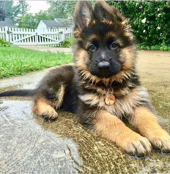 Puddle Puppy Gsd Really Cute Dogs German Shepherd Puppies Puppies