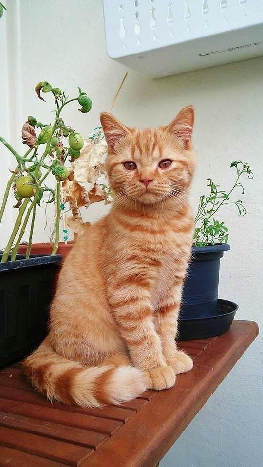 Pin By Tracy Keating On Gatos Orange Kittens Orange Tabby Cats Pretty Cats