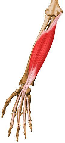 Muã Eca Musculo Flexor Largo Superficial Comun De Los Dedos Anatomía De Yoga Cuerpo Humano Anatomia Anatomia Musculos