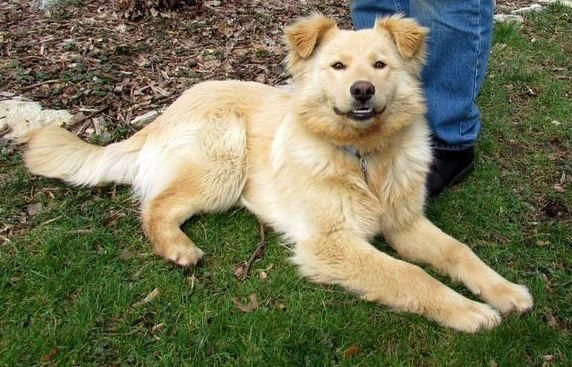 Adopt Teddy On Dogs Golden Retriever Chow Chow Mix Chow Chow