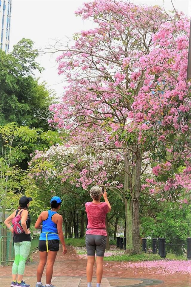 Explosion of pink across S'pore as trumpet tree flowers