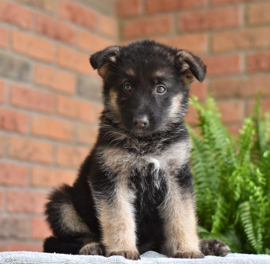 Pin By Ren1717 On Animals Shepherd Puppies Puppies German