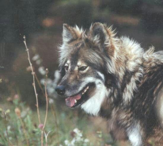 Native American Dog Hunde Hund Portraits Hundefotos