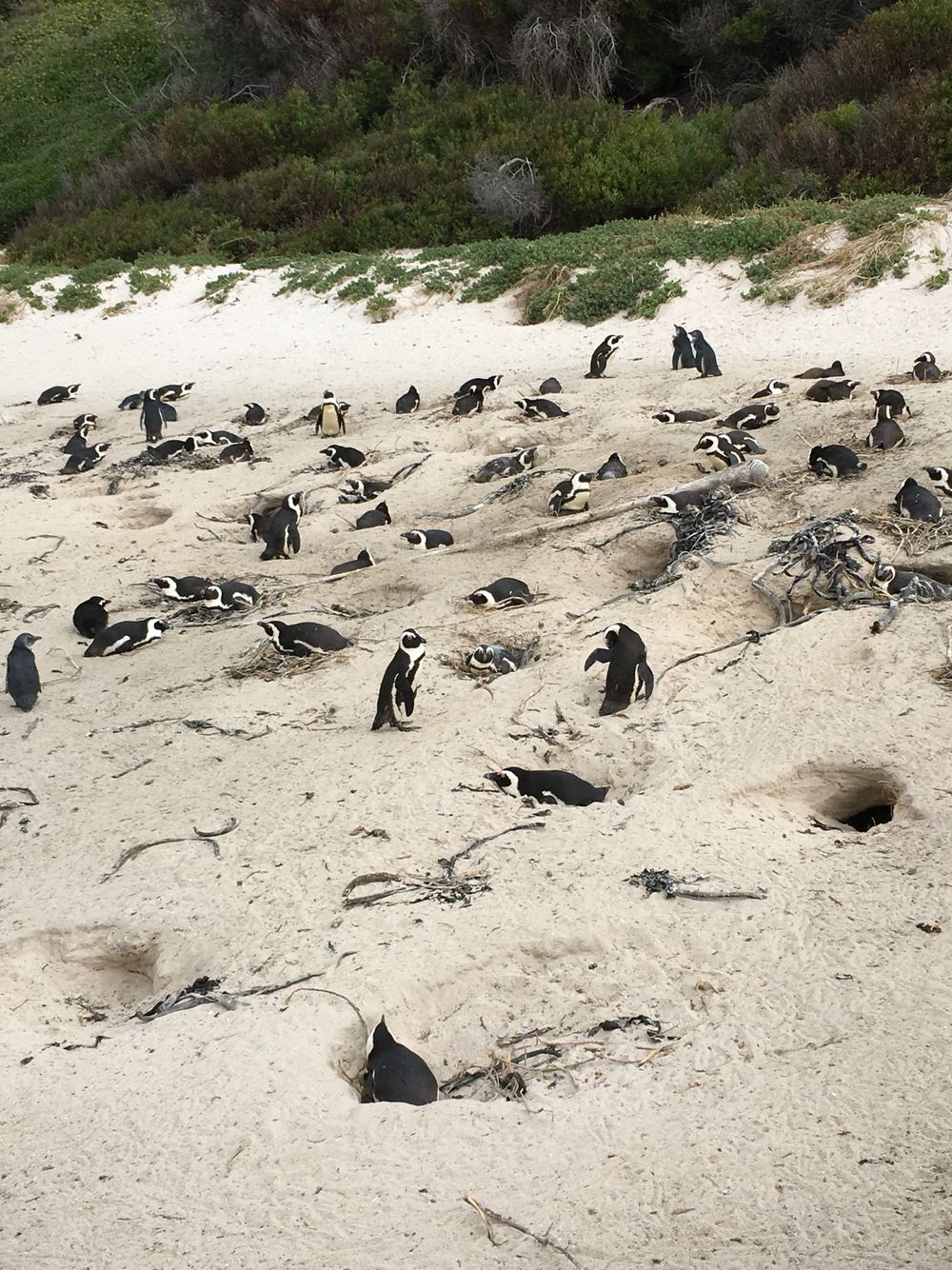 A bunch of penguins at Boulder Beach in Cape Town, South Africa