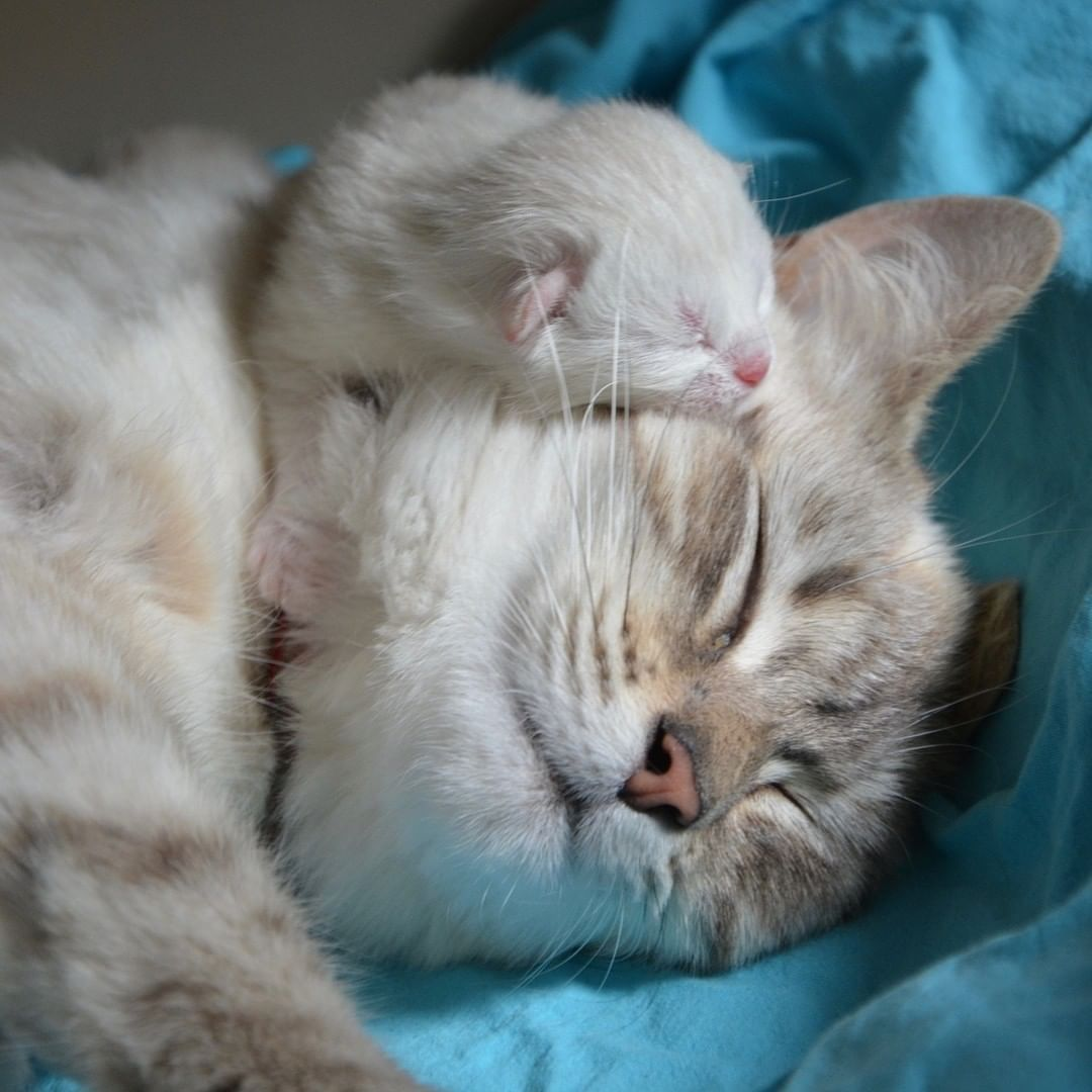 They Purr During Labor Purring Is Generally Thought Of As A Noise Made In Pleasure But It S Also Believed To Be A Self Pregnant Cat Kitten Care Baby Kittens
