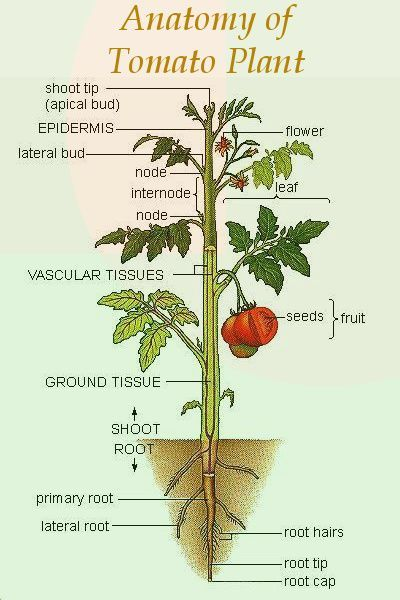 anatomy of tomato plant | tomato plants, plant structure, plants  pinterest