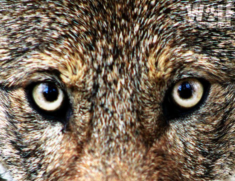 """NY Wolf Center on Twitter: """"As minister, MPP McGarry urged to protect at-risk species https://t.co/AMUtSnwkdX @Earthroots #ProtectEasternWolves https://t.co/Od69rLabUM"""""""