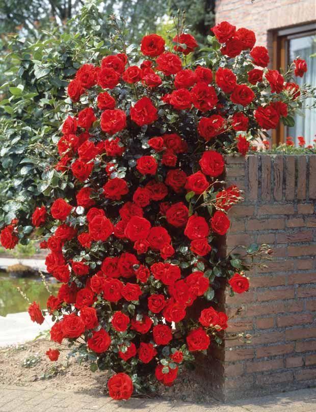 rosier grimpant 39 santana 39 rouge la rose pinterest. Black Bedroom Furniture Sets. Home Design Ideas