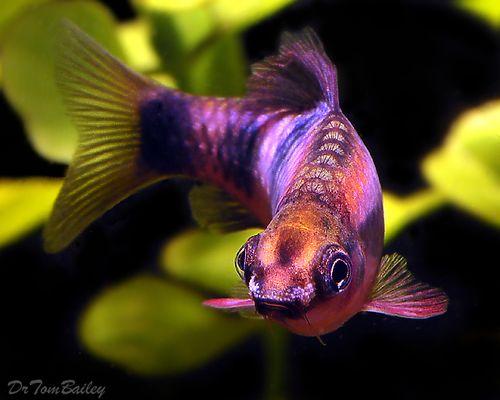 Premium Clown Barb 1 5 To 2 Long Aquarium Fish Tropical Fish Tropical Freshwater Fish