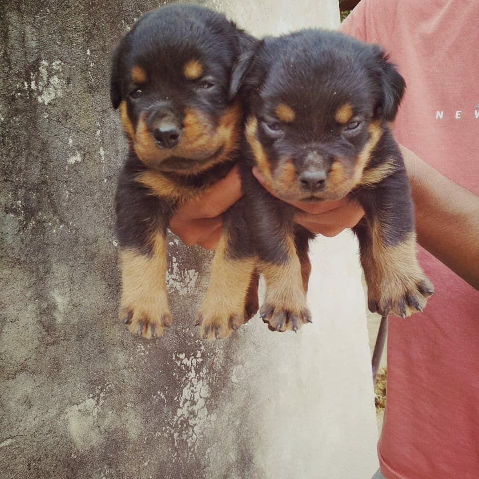 Good Quality Rottweiler Puppies Available Stikers