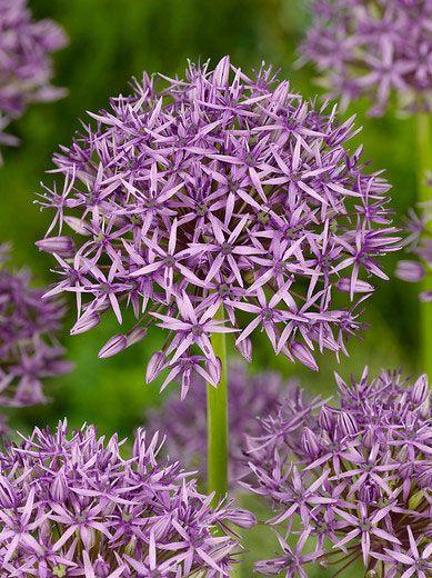 Allium Stipitatum Violet Beauty Allium Bulbs Allium Flowers Pansies Flowers Spring Flowering Bulbs