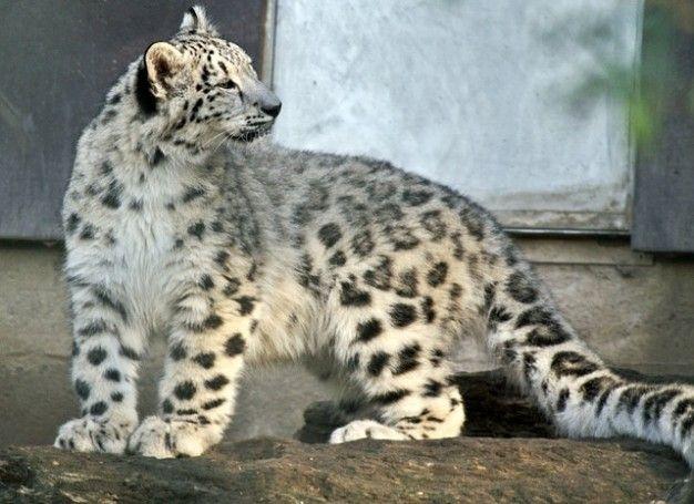 esho84 (Leopardo de Las Nieves) | =Tigres , Léopard , Lions ...