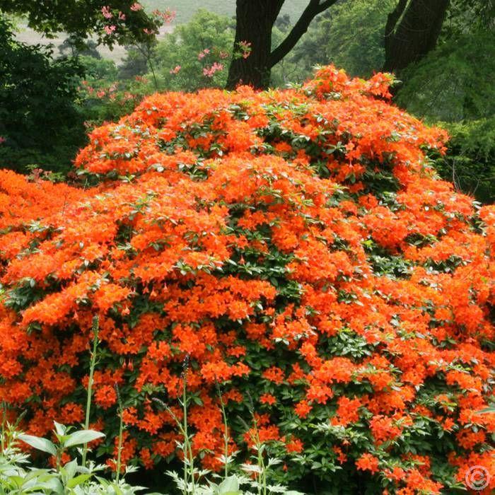 Azalea mollis orange 1 shrub Buy online order yours now
