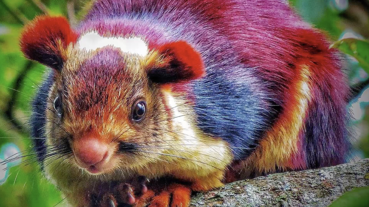 These Giant Colorful Squirrels Are The Most Beautiful Rodents We Ve Ever Seen Unusual Animals Animals Beautiful Rare Animals
